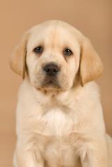 Trauriger Labradorwelpe auf braunem Hintergrund