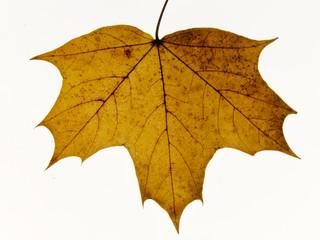 Maple leaf detail close up