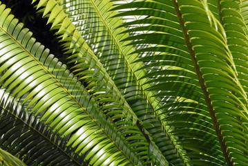 feuillage de  palmier, tropical, Martinique (Département d'outre-mer)