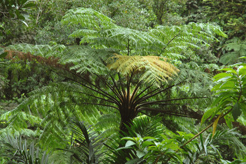 Fougères arborescentes, Martinique, ïle aux fleurs (Département d'outre-mer)