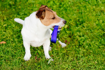 Dog holding leash in mouth looking at copy space with green grass background