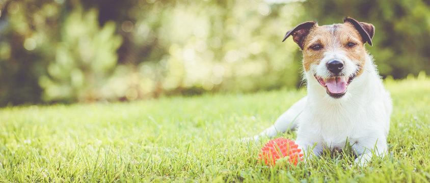 Pet dog lying on grass at sunny summer day (panoramic crop)