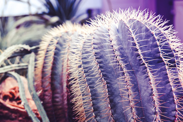 Two purple surreal cactus with needles are standing close-up in the greenhouse