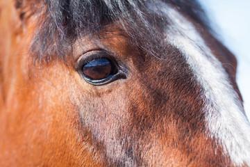 Wall Mural - View Bay horse closeup. Brown eye.