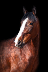 Wall Mural - Portrait of Bay horse on black background.