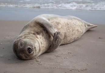 Sleeping baby seal