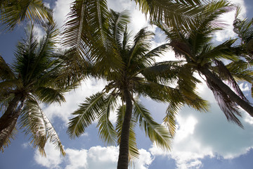 Palm trees, blue sky and puffy clouds. Tropical climate in a vacation environment.