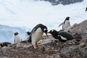 Gentoo penguins on rock