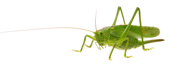 Green locust on white