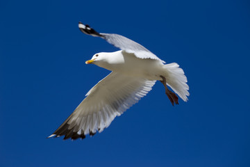 The seagull is flying over Lake Baikal.