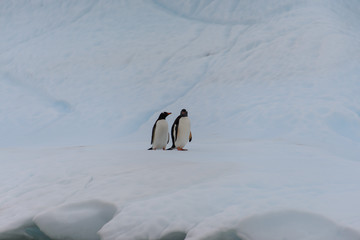 Two gentoo penguins on iceberg