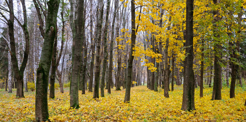 Autumn forest . Late fall. Overcast. A beautiful autumn forest with dark tree trunks and yellow leaves. Wide photo.