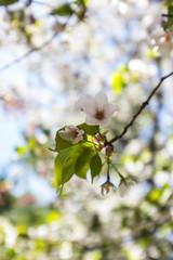 spring flower trees blooming in New York