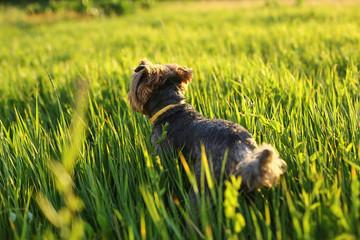 A dog runs across the field
