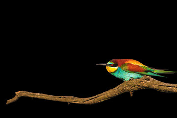 wonderful colored bird on branch dry wrinkled isolated on black
