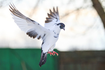 Sports postal pigeon arrived home at dusk