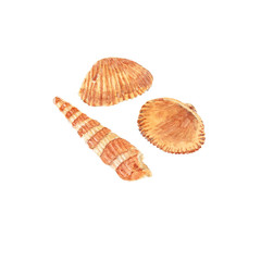 Watercolor illustration of cockle and auger seashells