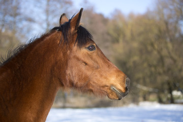 Portrait of a brown mare in winter