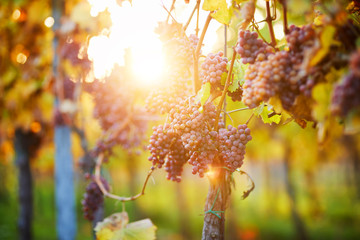 Bunch of pink grapes in the vineyard at sunset
