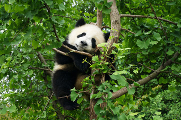 Photo sur Aluminium Panda young panda in a tree