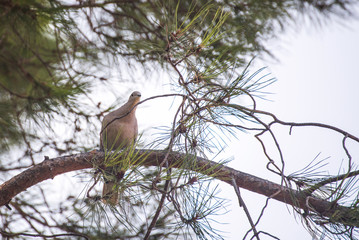 wild beautiful pigeon on a spruce branch