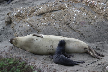 Elephant seal pup feeding from mother