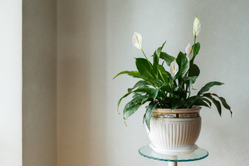 Spathiphyllum flower in the white pot, home