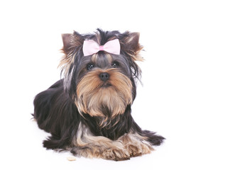 Yorkshire terrier puppy lying down isolated on white