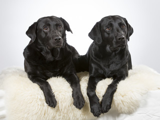 Two labradors in a studio. Team of two black labrador dogs.