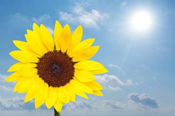 leuchtend gelbe Sonnenblume vor blauem Himmel