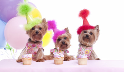 Yorkshire terrier dog birthday party celebration