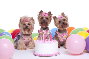 Yorkshire terrier dog birthday party celebration with cake , candles and balloons