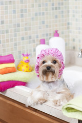 Yorkshire Terrier taking a Bubble Bath at the Grooming Salon (vertical)