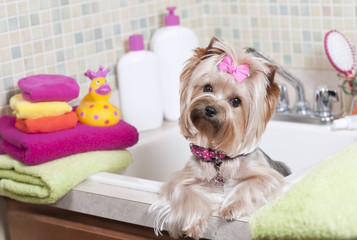 Yorkshire terrier all clean at the pet grooming salon