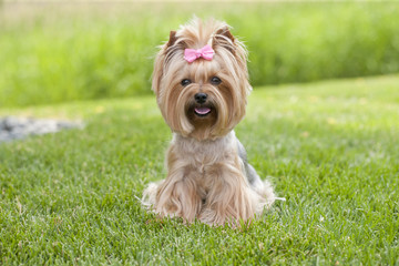 Yorkshire terrier dog sitting in the grass