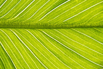 A leaf of a tropical indoor flower close-up