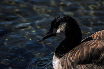 Close up of a Canada Goose