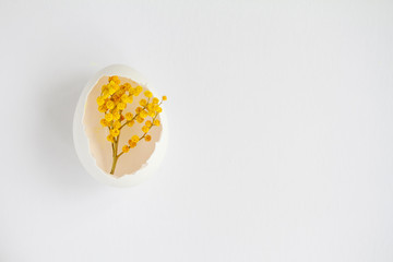 branch of Mimosa in a white egg on a white background