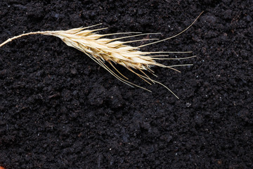 Wheat strands on black earth