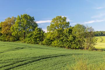Weizenfeld mit Knick (Wallhecke) aus Bäumen und Sträuchern und Gerstenfeld im Hintergrund in der Holsteinischen Schweiz in Schleswig-Holstein
