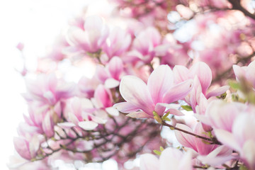 Blossoming magnolia tree. Selective focus