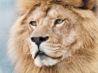 Fototapete - Broody majestic lion