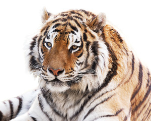 Wall Mural - Cute tiger isolated on white background