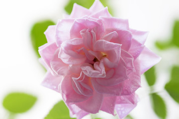 Pink rose and green leaves on a white background