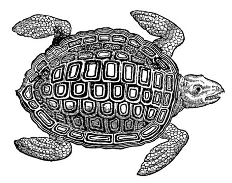 Marine sea turtle in top view (after a historical woodcut, illustration from the 16th century)
