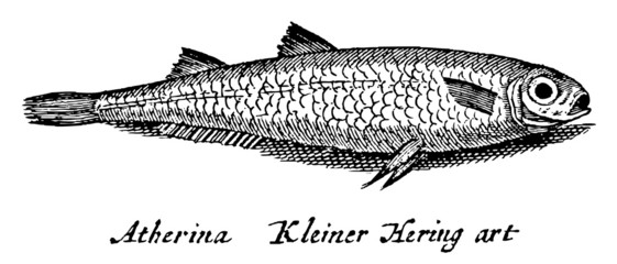 herring fish lying on its side (after an antique engraving or illustration from the 19th century)