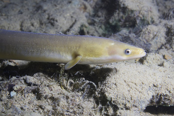 Eel fish (anguilla anguilla) in the beautiful clean river. Underwater shot in the river. Wild life animal. Eel in the nature habitat with nice background.Close up.
