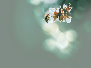 Spring flowering, pollination by bees. Close-up, bright, toned photo, fruit blossoming tree branches. Honeybees collect nectar and pollen. Signs of spring.