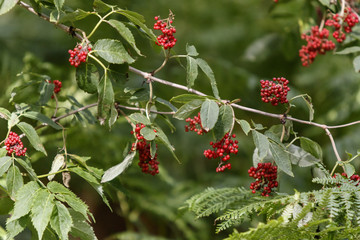 red berries plant detail