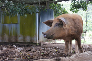 Pig in Rarotonga Cook Islands